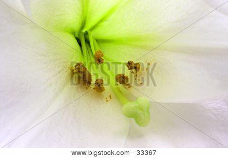 Lily Close-up No.1