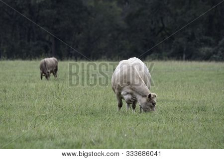Two Pregnant Fall-calving Brood Cows Grazing In An October Pasture In The Southeastern United States