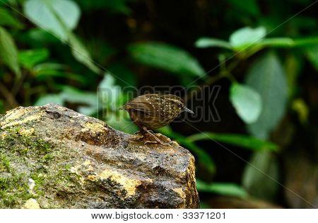 beautiful eye-browed -babbler (Napothera epilepidota) in Thai forest poster