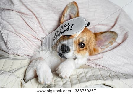 Cute Red And White Corgi Sleeps On The Bed On Its Back. Head On The Pillow, Covered By Blanket, Eyes