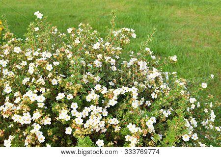 Shrubby Cinquefoil White Flower Potentilla Fruticosa Bush With Copy Space On Green Grass.