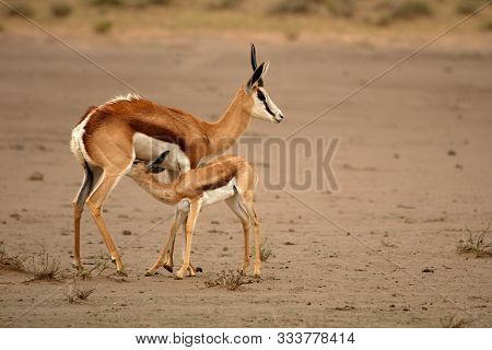 Springbok Mother (antidorcas Marsupialis) Is Breast-feeding A Baby Animal In Parched Sand In Kalahar