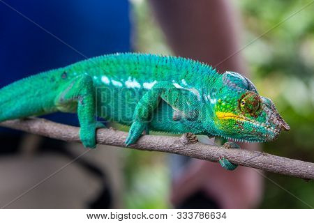 Close-up Of Male Green Panther Chameleon (furcifer Pardalis) In Lokobe Nature Strict Reserve In Mada