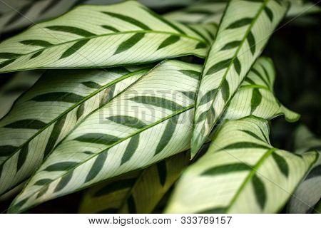 Close-up Of Marantaceae Calathea Leopardina Evergreen Leaves. Macro Photography Of Nature.