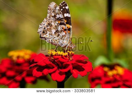Portrait Of Painted Lady Butterfly On The Red Flower In The Summer Garden. Photography Of Nature And