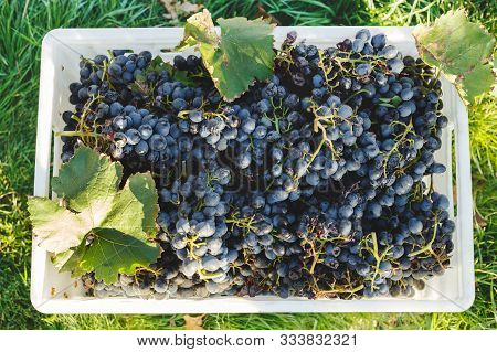 Blue Vine Grapes. Cabernet Grapes In A Box After Autumn Harvest, Ready To Be Used For Making Wine