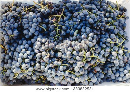 Blue Vine Grapes. Grapes For Making Wine. Cabernet Grapes As Background.
