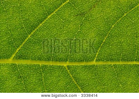 London Planetree Leaf Detail