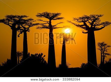 Stunning Sunset Above Baobab Avenue, Morondava, Madagascar