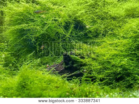 Submerged Freshwater Scenery Showing A Dense Green Waterplant Scenery