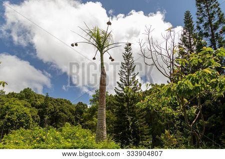 Palm Tree With Baya Nests On Mauritius Island, Africa