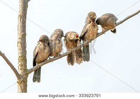 A Group Of Jungle Babblers Sitting On A Tree Doing Preen
