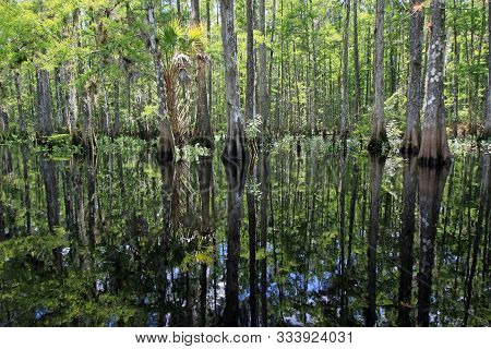 Cypress Trees Reflected In Exceptionally Calm Water Of Fisheating Creek Near Palmdale, Florida In Mi