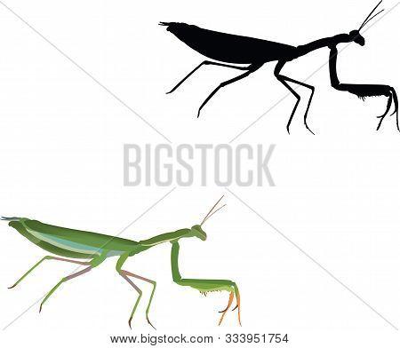 Insect Predator Invertebrate Religious Mantis Insect Predator Invertebrate Religious Mantis