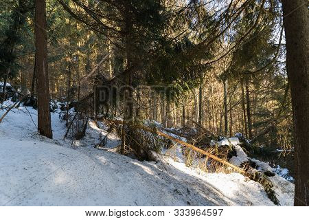 Kinked Trees Due To Snow Pressure And Storm Result In Damaged Wood