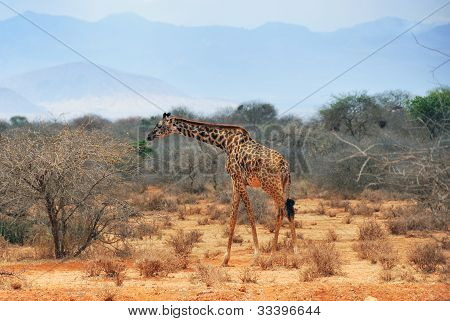 Masai race giraffe in the African bush near Amboseli national park at dry season at early morning Kenya poster