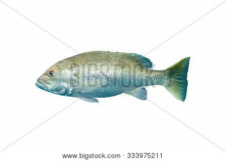 Mangrove Snapper Or Gray Snapper (lutjanus Griseus) Isolated On White Background With Clipping Path.