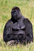 Gorilla relaxing in a green field enjoying the sun poster