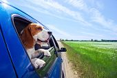 The cute beagle travels in the blue car. poster