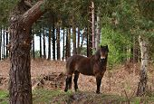 A wild exmoor pony stands alert in a forest poster