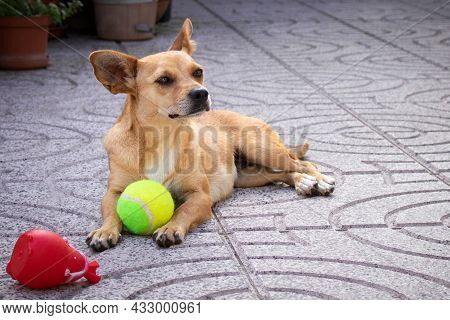 Small Female Mixed-breed Dog With Big Ears Staring Away From The Camera And Lying Relaxed In The Bac