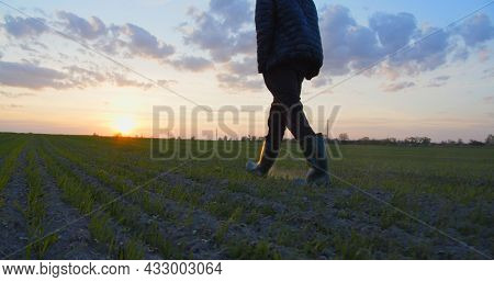 Farmer walks through a young wheat green field during sunset. Bottom view of a man walking in rubber boots in a farmer's field at sunset. Human walking on agriculture field