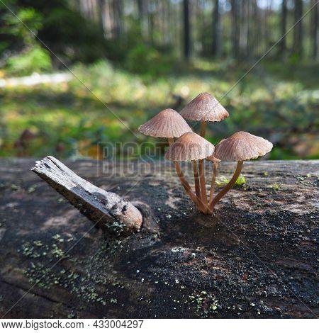 Autumn Mushrooms That Look Like Umbrellas On Thin Legs On A Tree Look Like Poisonous.