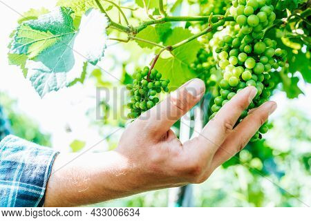 Close Up, Selective Focus At Male Farmers Hands Examining A Bunch Of Green Grapes In Farm, Agricultu