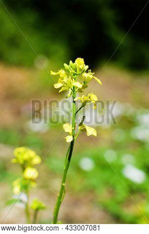Yellow Rape Flowers, Canola Oil - Health And Beauty. Brassica Napus.