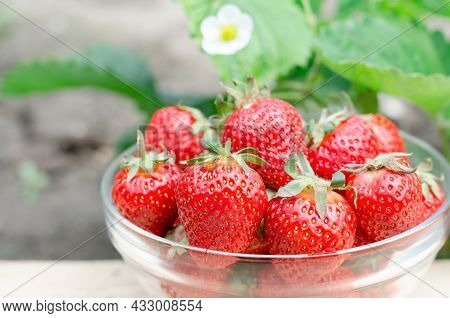 Growing Strawberries At Home. Gardening Concept. Bowl With Juicy Fresh Strawberries On The Backgroun