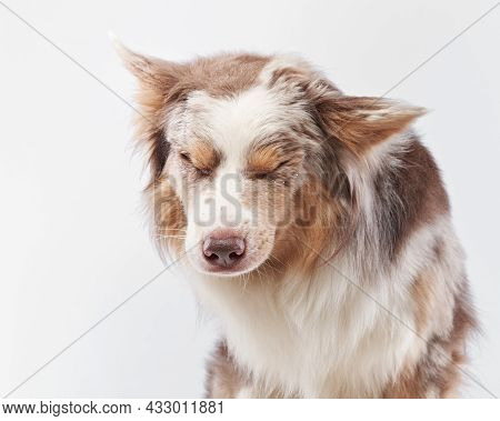 The Dog Shakes Off. Happy Border Collie With Funny Muzzle. Pet On Bright Background
