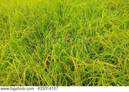 Young Green Grass Grows In A Meadow Or In A Garden, Background