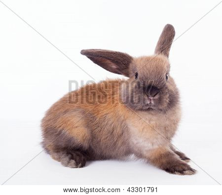 Rabbit Isolated On The White.