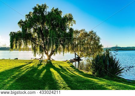 Magnificent sprawling tree by the lake Taupo. Magnificent sunset. Quiet evening on the lake. Taupo is the largest lake in New Zealand, North Island.