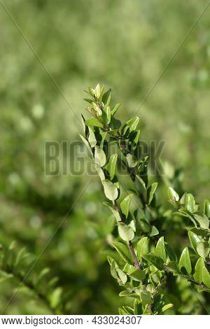 Honeysuckle Green Breeze - Latin Name - Lonicera Ligustrina Var. Yunnanensis (lonicera Nitida)