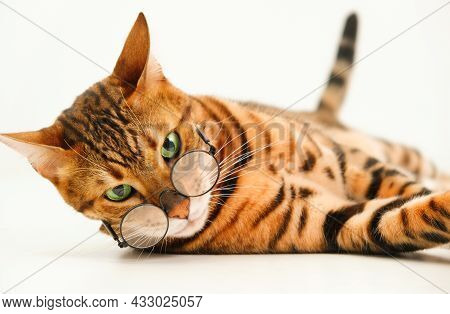 Severe Look Ginger Bengal Cat Wearing Eye Glasses Looking At Camera Lying On White Background,isolat