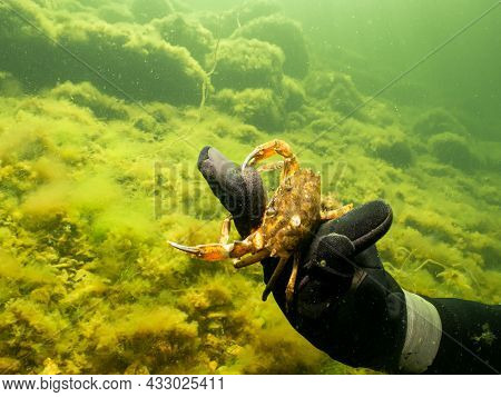 A Close-up Picture Of A Divers Hand Holding A Crab. Green, Cold Water