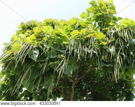 Crown Of A Tree With Large Leaves And Long Catalpa Pods Bottom View, Southern Pod Tree In Fruiting S