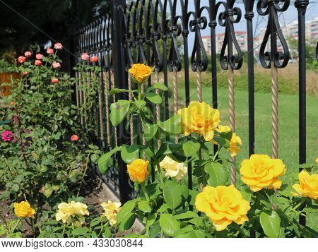 A Bush Of Yellow Tea Roses Near An Iron Forged Fence In A Park Against The Background Of A Blurred C