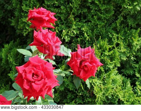 Lush Buds Of Red Roses On A Bush In The Park Against A Green Background Of Thuja Branches, A Combina