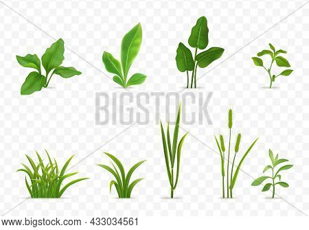 Decorative Green Grasses Young Cereal Plants Seedlings Leaves Realistic Set Transparent Background I