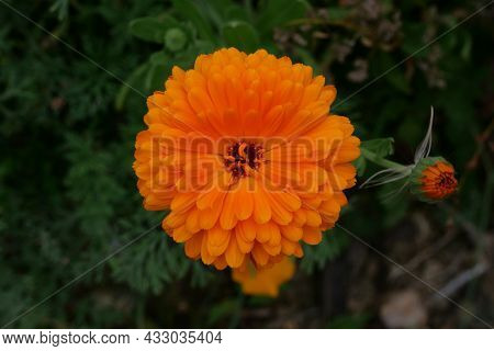 Single Vivid Orange Marigold With Soft Blurred Green Foliage Background