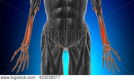 Interosseous Membrane Forearm Muscle Anatomy For Medical Concept 3D