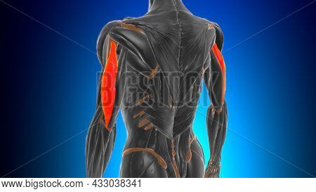 Lateral Head Triceps Brachii Muscle Anatomy For Medical Concept 3D