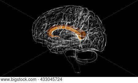 Brain Corpus Callosum Anatomy For Medical Concept 3d Illustration
