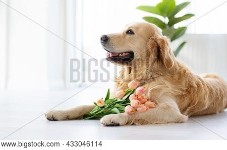 Golden retriever dog lying on the floor in the room with daylight close to window and posing with tulips flowers. Purebred pet doggy looking back indoors with bouquet