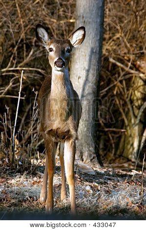 White Tailed Mule Deer