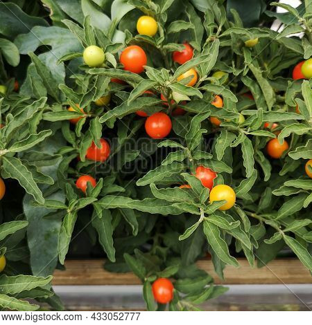 Nightshade With Red And Orange Fruits. Jerusalem Cherry Plant Solanum Pseudocapsicum With Leaves And