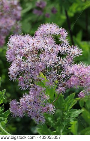 Purple Meadow Rue, Thalictrum Unknown Species, Flowers In Close Up With A Blurred Background Of Leav
