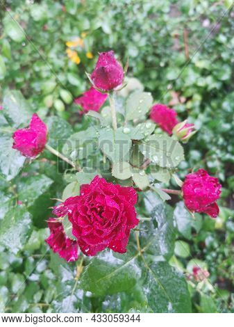 Macro Image Of Red Rose With Water Droplets On The Green Leaves Background